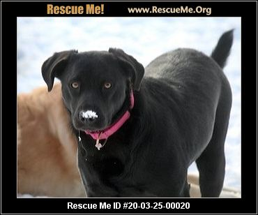 New York Lab Rescue Adoptions Rescue Me