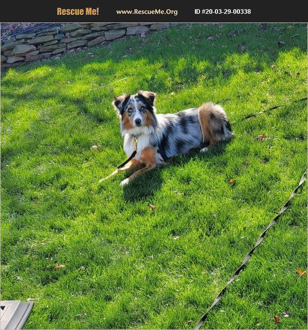 ADOPT 20032900338 ~ Australian Shepherd Rescue ~ Fort Mill, SC