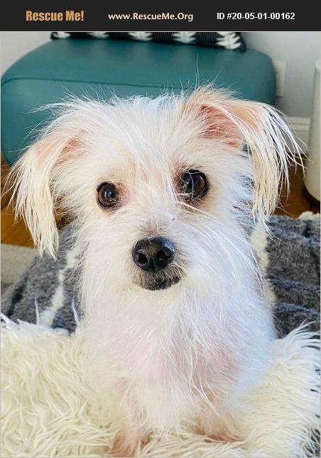 ADOPT 20050100162 ~ Sealyham Terrier Rescue ~ Los Angeles, CA