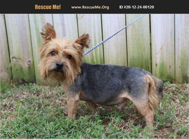 ADOPT 20122400120 ~ Norwich Terrier Rescue ~ Anderson, SC