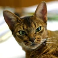 North Carolina Abyssinian Rescue