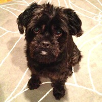 Arizona Affenpinscher Rescue