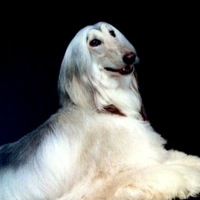 Massachusetts Afghan Hound Rescue