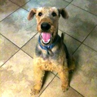 Iowa Airedale Rescue