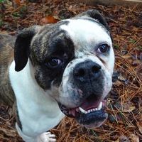 Texas American Bulldog Rescue