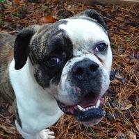 American Bulldog Rescue Adoptions