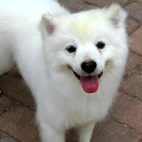 Maine American Eskimo Dog Rescue