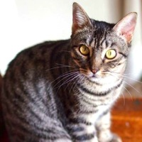 South Korea American Shorthair Rescue