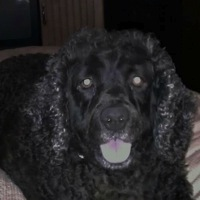 Kentucky American Water Spaniel Rescue
