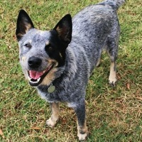 Georgia Australian Cattle Dog Rescue