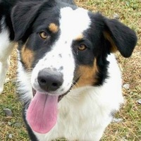 Louisiana Australian Shepherd Rescue