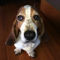 Arkansas Basset Hound Rescue