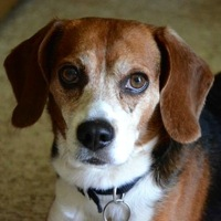 Louisiana Beagle Rescue