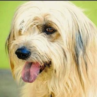 Bearded Collie Rescue