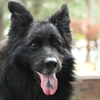 Belgian Sheepdog Rescue