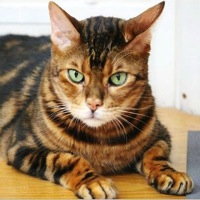 Connecticut Bengal Rescue