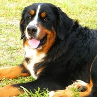 Massachusetts Bernese Mountain Dog Rescue