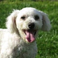 Michigan Bichon Frise Rescue