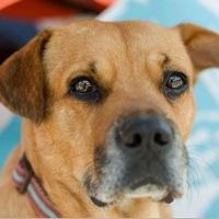 Louisiana Black Mouth Cur Rescue