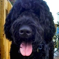 New Jersey Black Russian Terrier Rescue