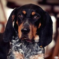 Kentucky Bluetick Coonhound Rescue