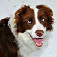 West Virginia Border Collie Rescue