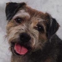 Border Terrier Rescue