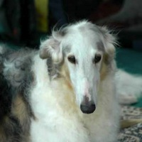 Iowa Borzoi Rescue