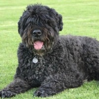 Arizona Bouvier Rescue
