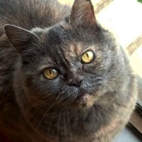 Washington British Shorthair Rescue