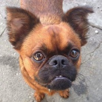 Georgia Brussels Griffon Rescue