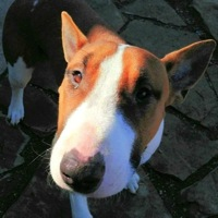 Iowa Bull Terrier Rescue