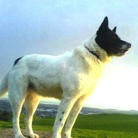 Canaan Dog Rescue