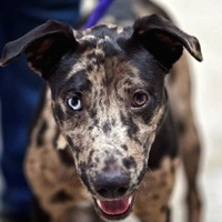 Louisiana Catahoula Rescue