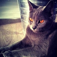 Georgia Chartreux Rescue