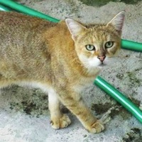 Florida Chausie Rescue