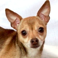 New Jersey Chihuahua Rescue