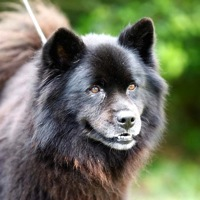 California Chow Chow Rescue