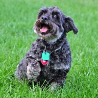 North Carolina Cockapoo Rescue