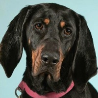Utah Black and Tan Coonhound Rescue