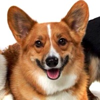 South Korea Corgi Rescue