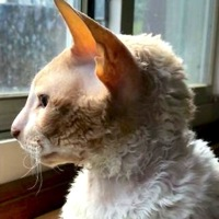 Cornish Rex Rescue
