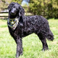 Kentucky Curly-Coated Retriever Rescue