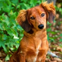 Wyoming Dachshund Rescue
