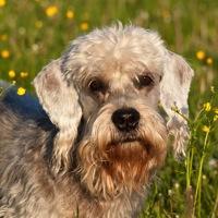 Dandie Dinmont Terrier Rescue