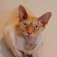 Devon Rex Rescue