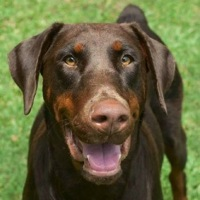 Alabama Doberman Pinscher Rescue