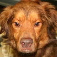 Tennessee Nova Scotia Duck Toller Rescue