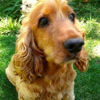 English Cocker Spaniel Rescue