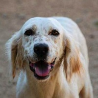 California English Setter Rescue